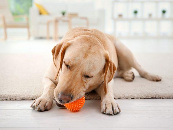 6 ασκήσεις εσωτερικού χώρου για ηλικιωμένους σκύλους!