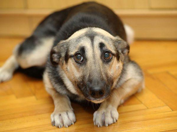 Γιατί τα σκυλιά γυρνάνε τα αυτιά τους προς τα πίσω;