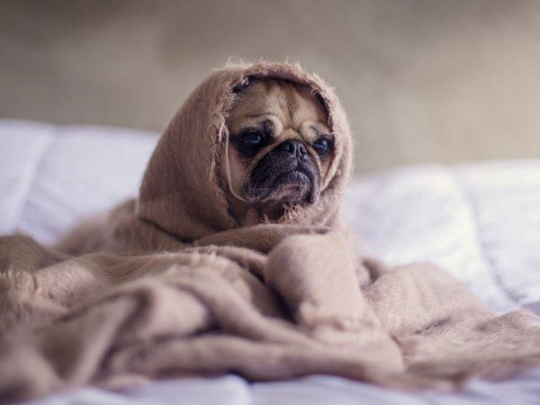 Σκύλος τρέμουλο: Γιατί τρέμει το σκυλί μου;
